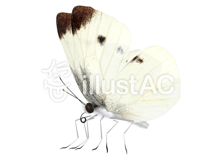 モンシロチョウの画像 p1_39
