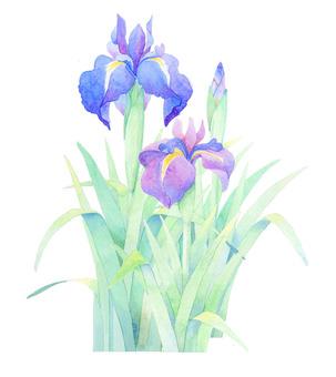 Iris ★ 0035-F