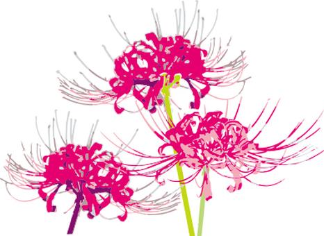 Higanbana flower pink