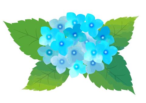 Light blue hydrangea