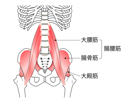 Muscles, iliopsoas and gluteus maximus