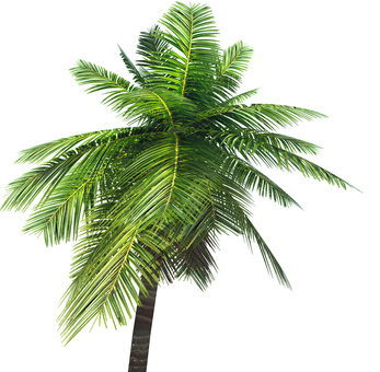 Palm tree (background transparent)