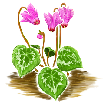 Cyclamen flower in autumn