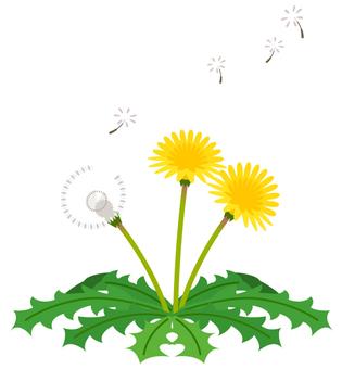 Dandelion (some fluff