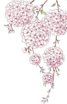 Sakura · Tamasaki
