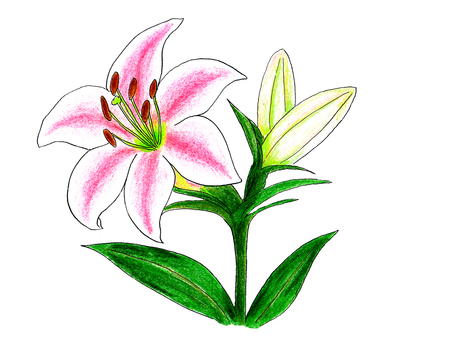 Lily Flower 02 (painted with colored pencils)