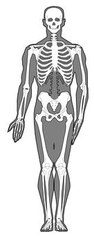 Whole body skeleton - front