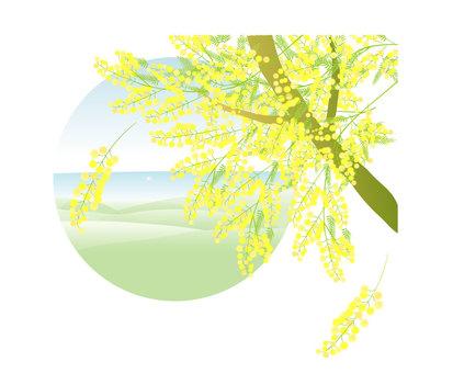 미모사 나무