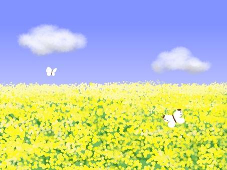 Rape flower field and butterfly