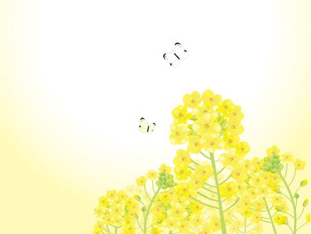 유채 꽃밭과 나비