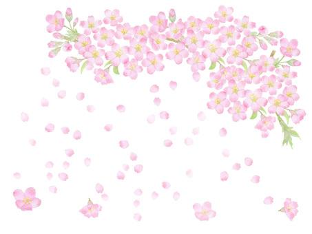 桜吹雪 ★0493-F