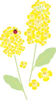 Rapeseed flower 004
