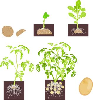 How to raise potatoes