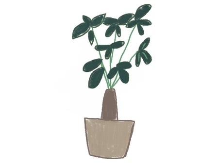 Plant pachira