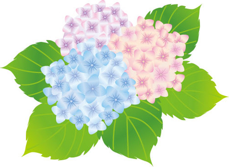 Hydrangea three colors