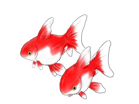 二匹の金魚(背景なし)