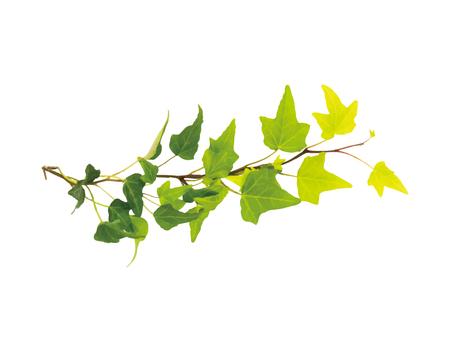 담쟁이 잎