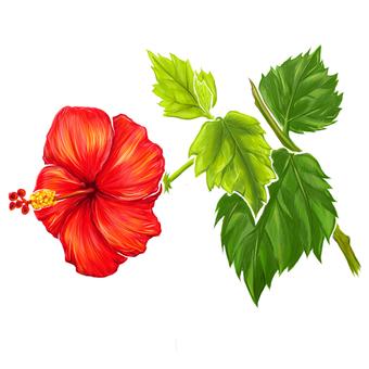 Summer flowers Hibiscus