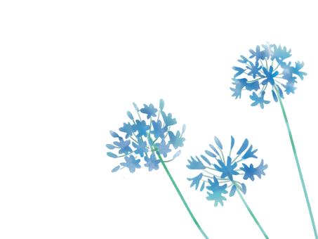 Agapanthus blue