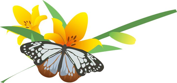 백합 꽃에 앉는 왕 나비