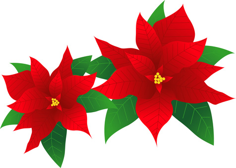 Poinsettia ~ Type F ~
