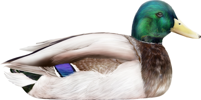 Duck male Lateral side 1