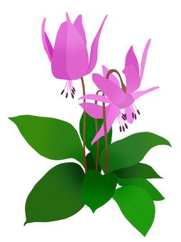 얼레지 꽃