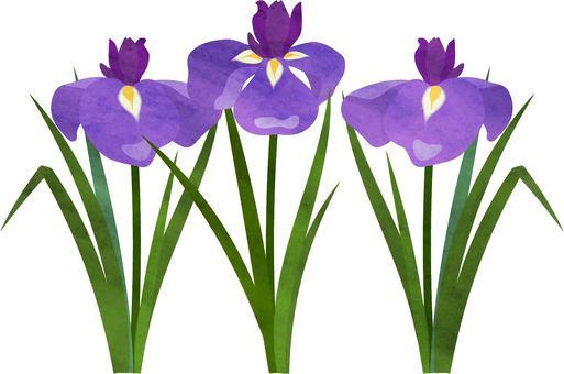 Iris watercolor style