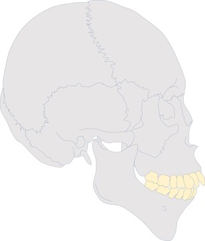 Bi-maxi craniofacial profile