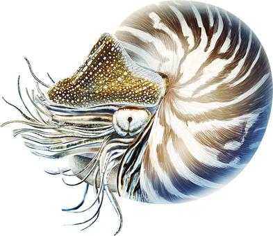 深海古代生活菊石真實例證
