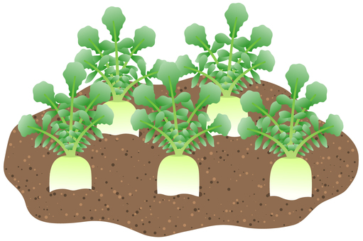 土に埋まっている大根