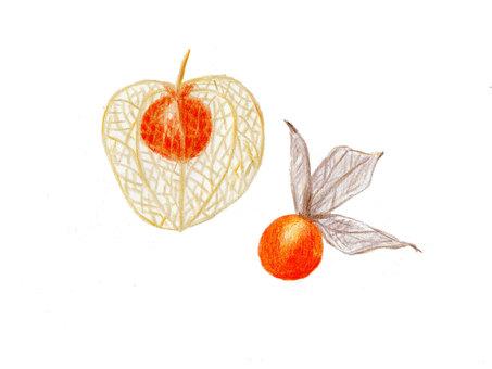 Watermark Honzuki (color pencil drawing)