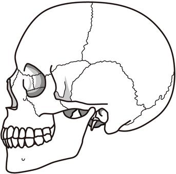 Cranium (side)