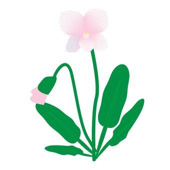 제비꽃 ④