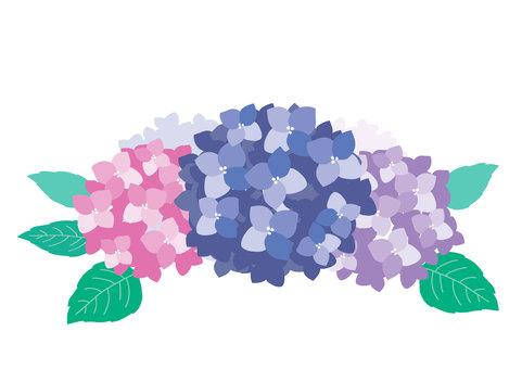 【梅雨】あじさい/紫陽花 フリー素材