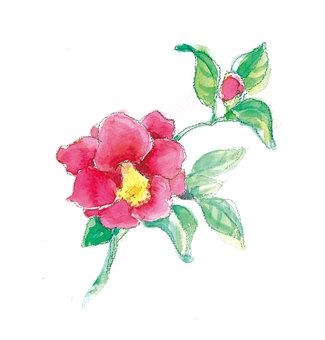 Camellia camellia