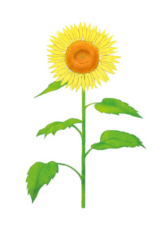 Watercolor style sunflower illustration