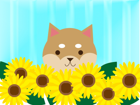 Shiba dog and sunflower field