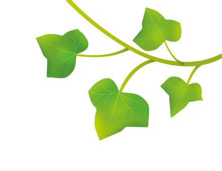 아이비 잎