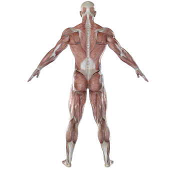 Skeletal muscle back