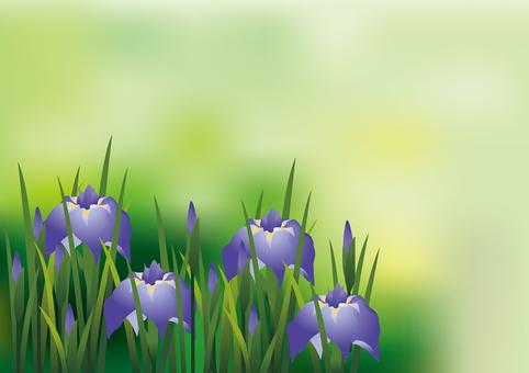 Iris iris 18