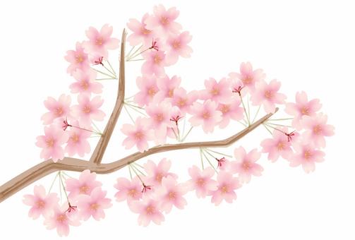 벚꽃 花枝