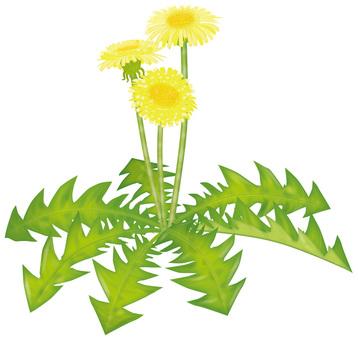 민들레 2 / 친밀한 꽃