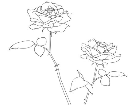 Rose of line drawing