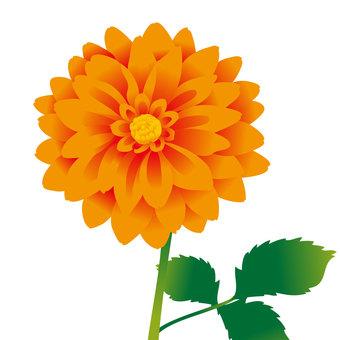 橙色的大麗花