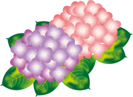 Hydrangea 1