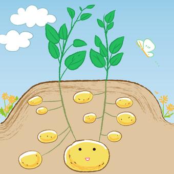 じゃがいもの栽培 じゃがいもの種芋