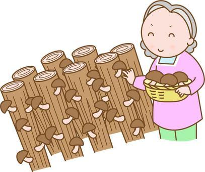Women who grow and harvest shiitake mushrooms