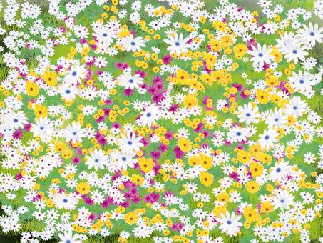 Dimorphoseca flower garden