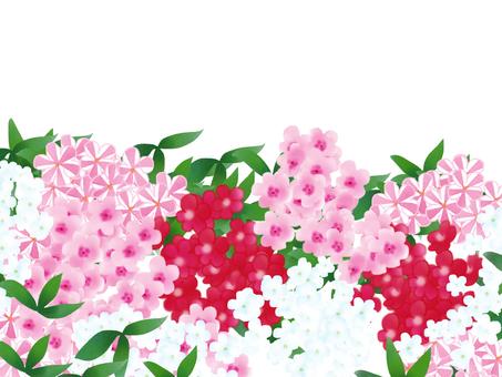 花魁草 (플록스)